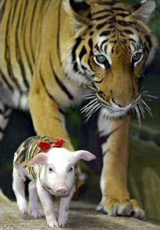 zoo tigres tailandia tigre cerdito