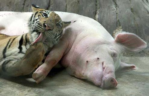 zoo tigres tailandia tigre cerdo