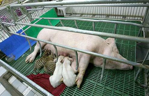zoologico tigres sriracha tigre cerdo
