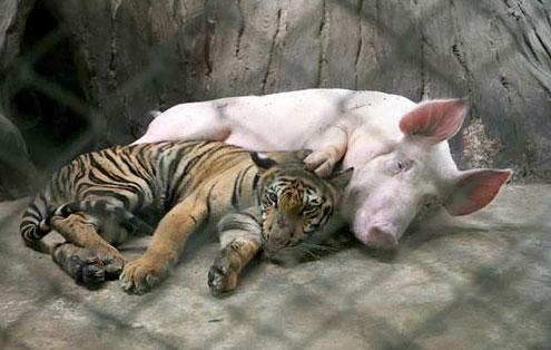 zoologico tigres tailandia tigre cerdo