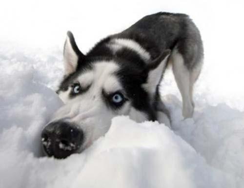 animales-graciosos-husky