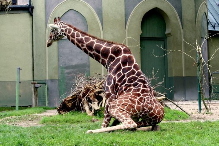 animales-graciosos-jirafa