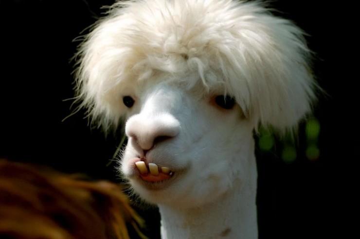 animales-graciosos-llama-peinado