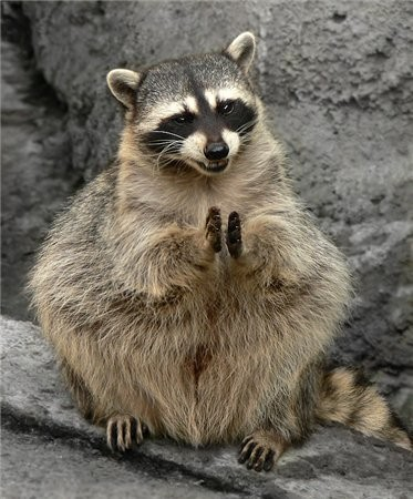 animales-graciosos-mapache