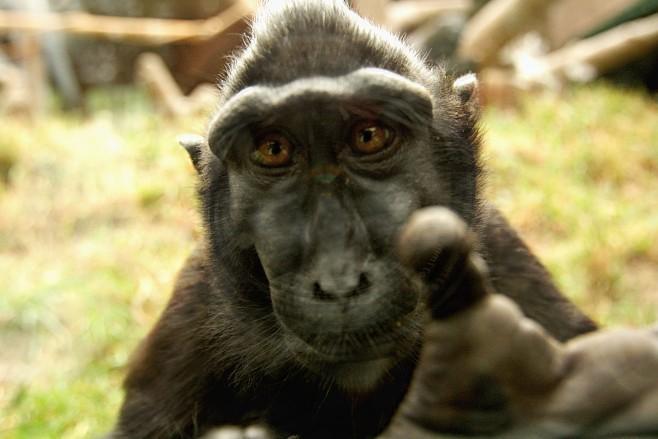 animales-graciosos-mono-dedo