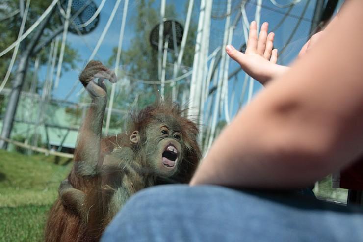 animales-graciosos-mono-orangutan