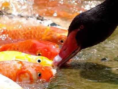 animales-graciosos-pato-alimenta-peces