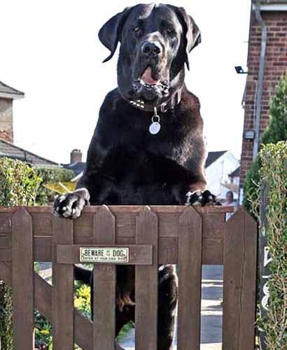animales-graciosos-perro-guardian