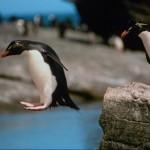 animales-graciosos-pinguino-saltando