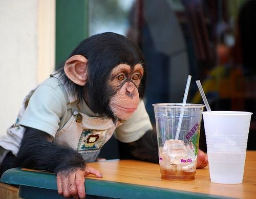 animales-risa-humor-chimpance