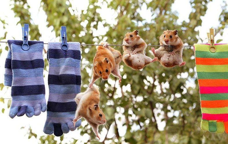 animales-risa-humor-hamsters