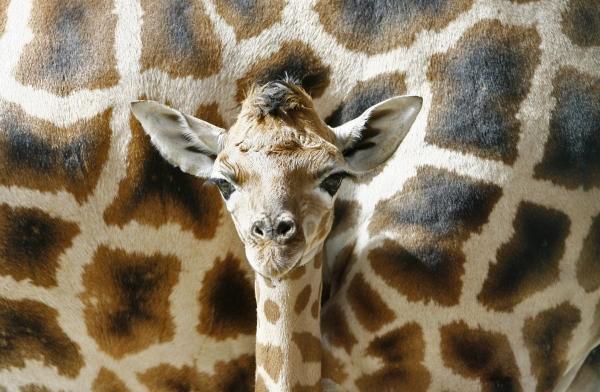 animales-risa-humor-jirafa