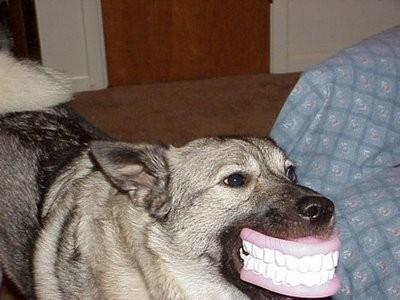 animales-risa-humor-perro-dentadura