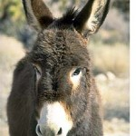 burros-burro