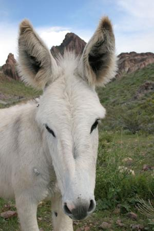 burros-salvajes