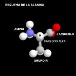 proteinas-aminoacidos-esquema-alanina