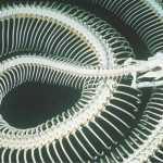 ¿Cuántas vértebras poseen las serpientes?
