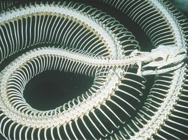snake skeleton esqueleto serpiente