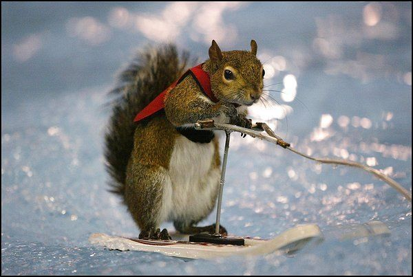 animales-humor-ardilla-snow-board