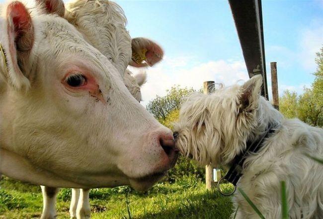 animales-humor-beso-vaca-perro