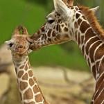 animales-humor-jirafa-lameton