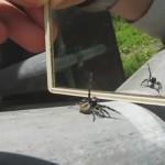 arana saltadora reflejo espejo video