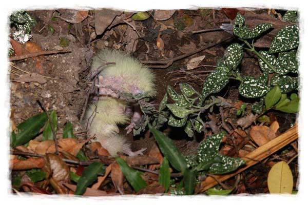 cacatua-papagayo-blanco-crecimiento-cria-04