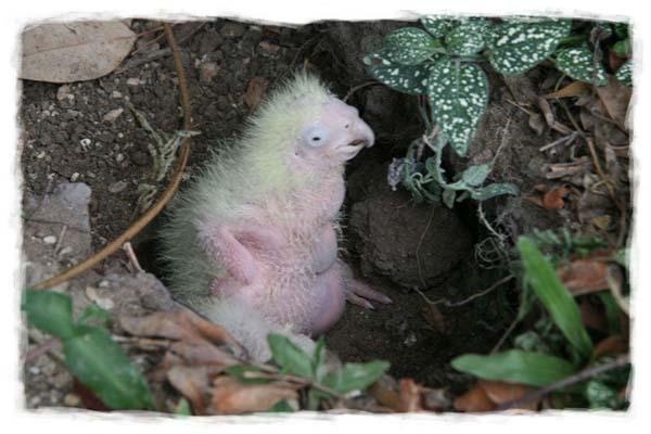 cacatua-papagayo-blanco-crecimiento-cria-06