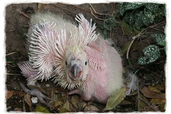 cacatua-papagayo-blanco-crecimiento-cria-07