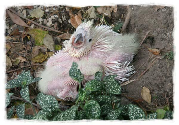 cacatua-papagayo-blanco-crecimiento-cria-08
