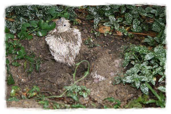 cacatua-papagayo-blanco-crecimiento-cria-09