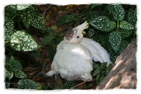cacatua-papagayo-blanco-crecimiento-cria-12