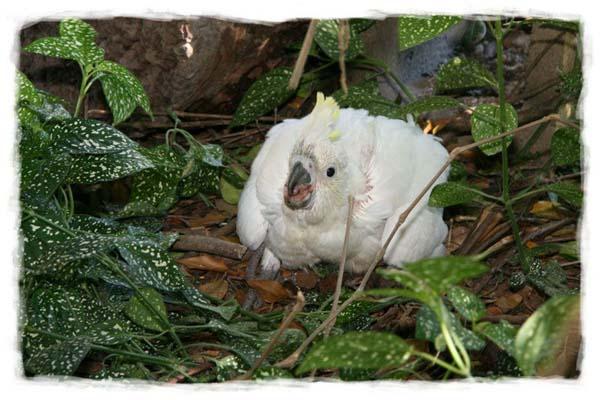 cacatua-papagayo-blanco-crecimiento-cria-13