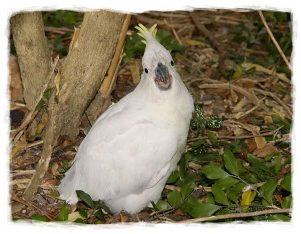 cacatua-papagayo-blanco-crecimiento-cria-14