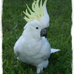 cacatua-papagayo-blanco-crecimiento-cria-15