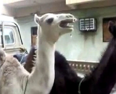 camello riendo reir cosquillas video