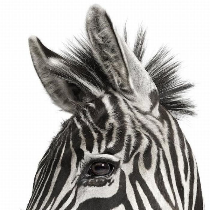 fotografias animales Andrew Zuckerman cebra