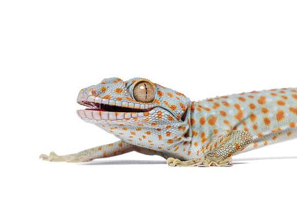fotografias animales Andrew Zuckerman gecko
