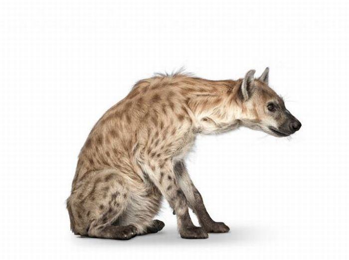 fotografias animales Andrew Zuckerman hiena