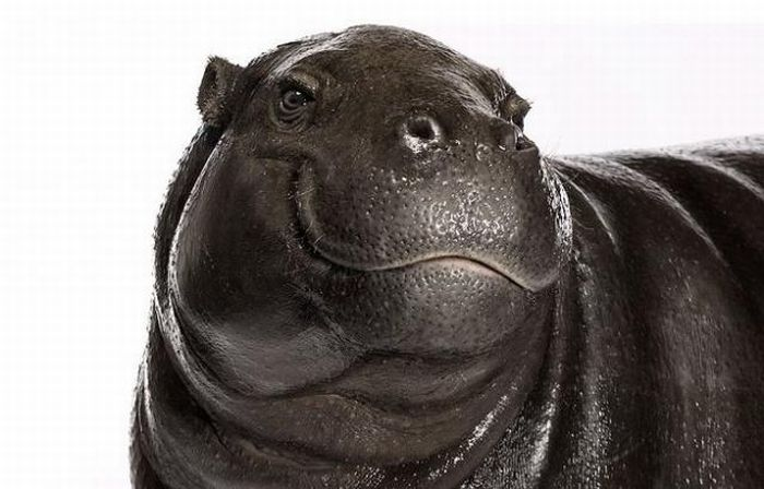 fotografias animales Andrew Zuckerman hipopotamo