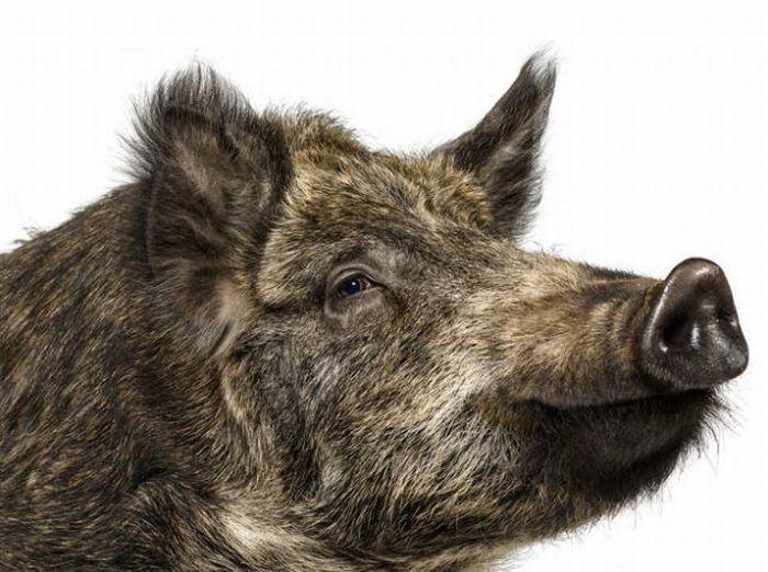 fotografias animales Andrew Zuckerman jabali