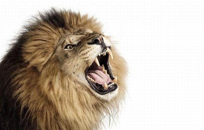 fotografias animales Andrew Zuckerman leon rugiendo