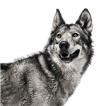 fotografias animales Andrew Zuckerman lobo