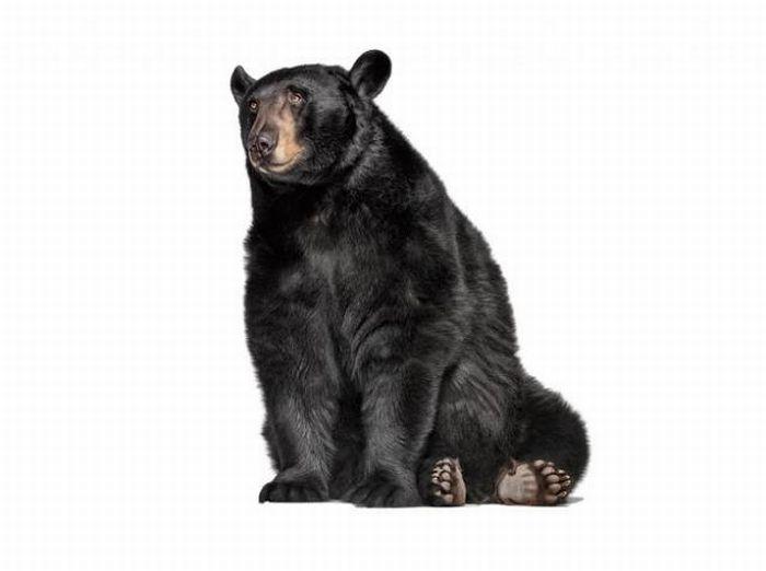 fotografias animales Andrew Zuckerman oso negro