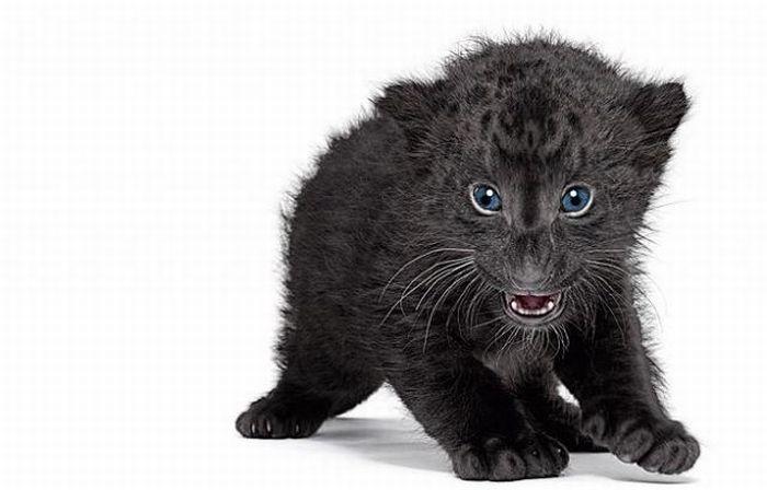pantera animal bebe