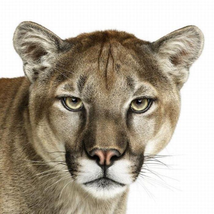 fotografias animales Andrew Zuckerman tigre