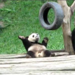 oso panda bailando video
