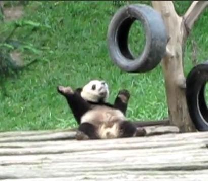 oso panda bailando video