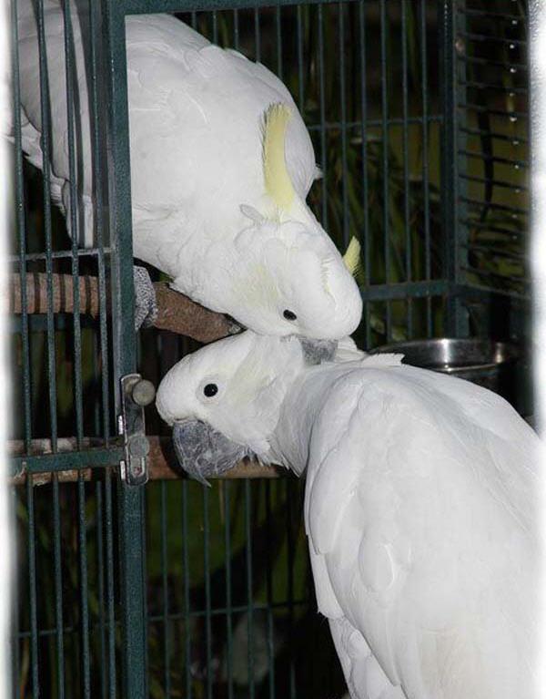 papagayo-blanco-crecimiento-cria-00
