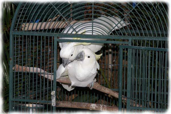 papagayo-blanco-crecimiento-cria-01